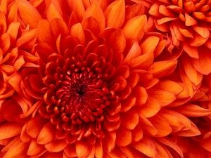 Chrysanthemum_mini-300x225